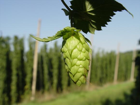Cascade Hops IPA